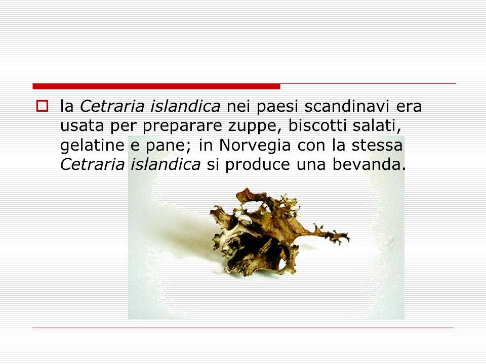 la Cetraria islandica nei paesi scandinavi era usata per preparare zuppe, biscotti salati, gelatine e pane; in Norvegia con la stessa Cetraria islandica si produce una bevanda.