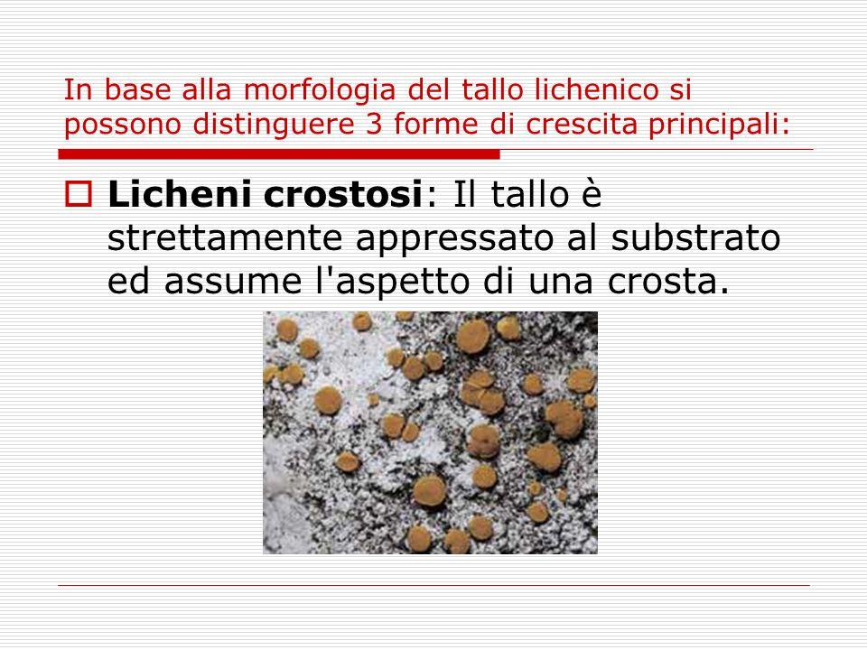 In base alla morfologia del tallo lichenico si possono distinguere 3 forme di crescita principali: