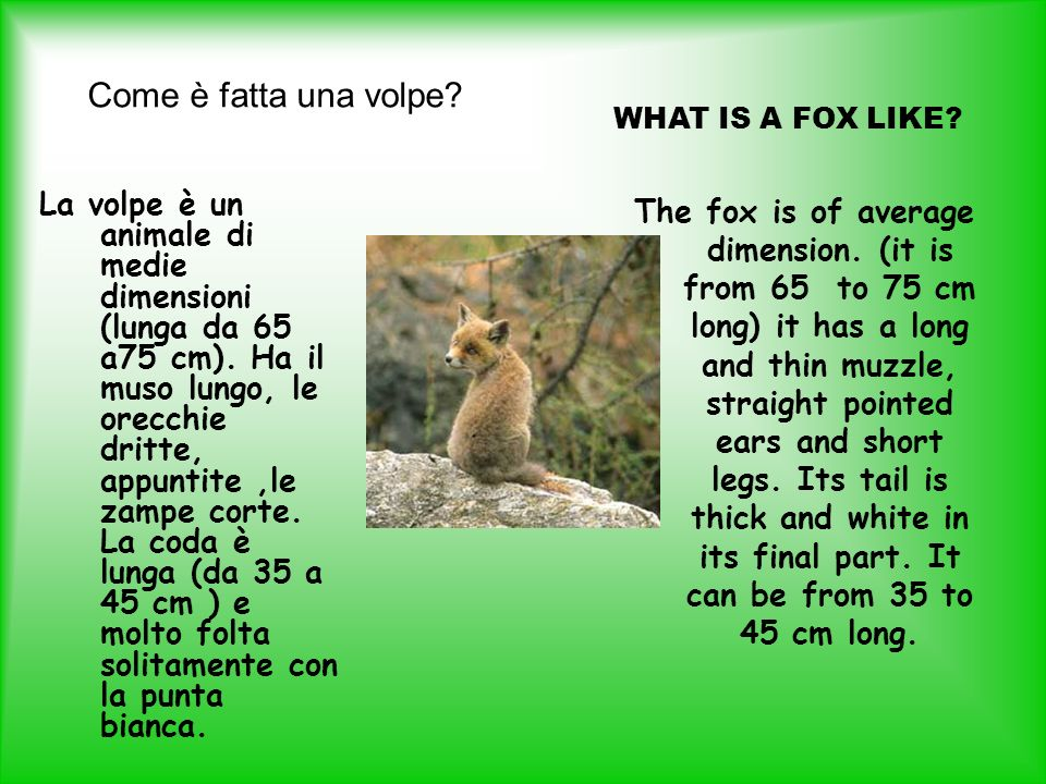 Come è fatta una volpe WHAT IS A FOX LIKE