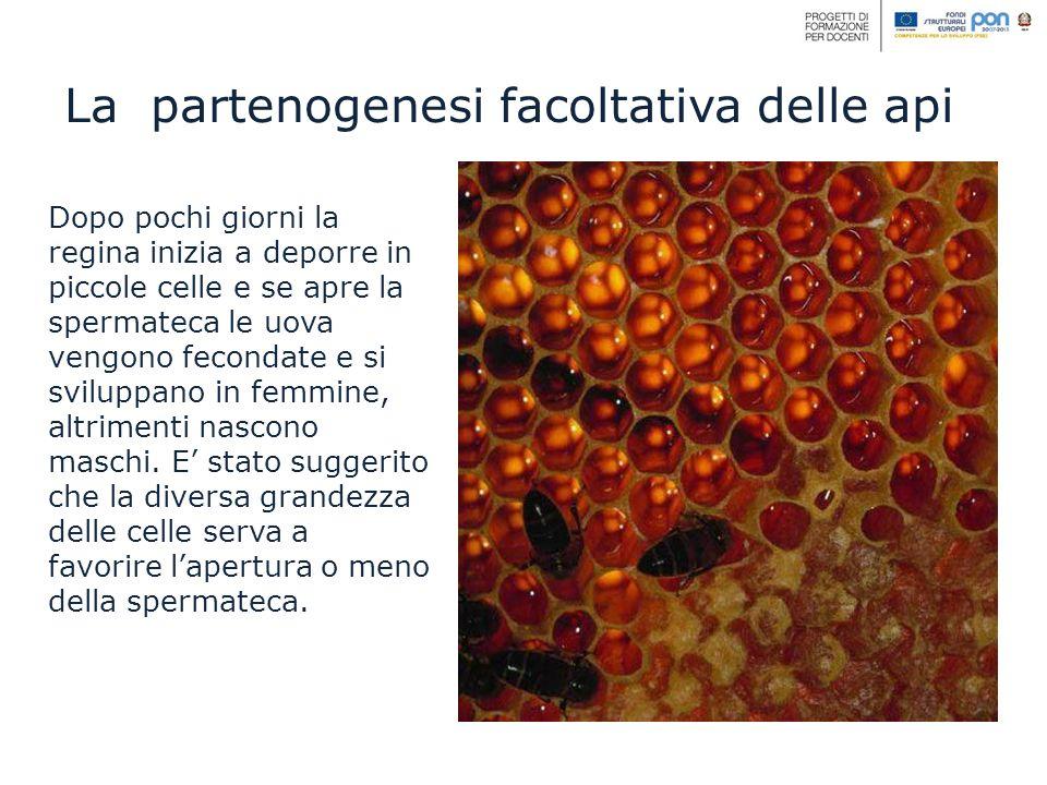 La partenogenesi facoltativa delle api