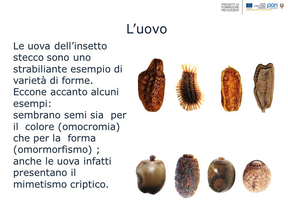 L'uovo Le uova dell'insetto stecco sono uno strabiliante esempio di varietà di forme. Eccone accanto alcuni esempi: