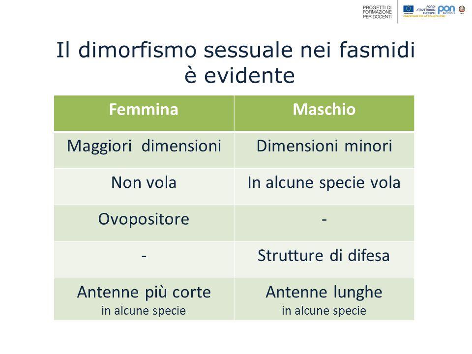 Il dimorfismo sessuale nei fasmidi è evidente