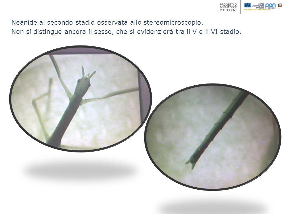 Neanide al secondo stadio osservata allo stereomicroscopio