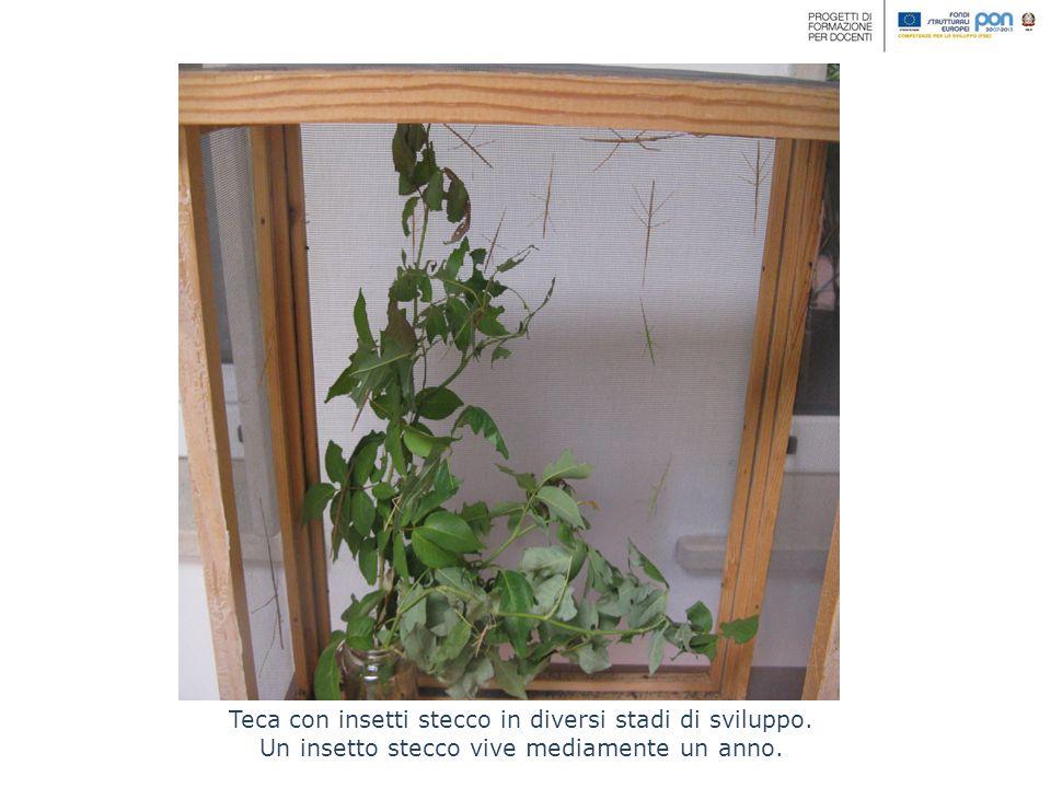Teca con insetti stecco in diversi stadi di sviluppo.