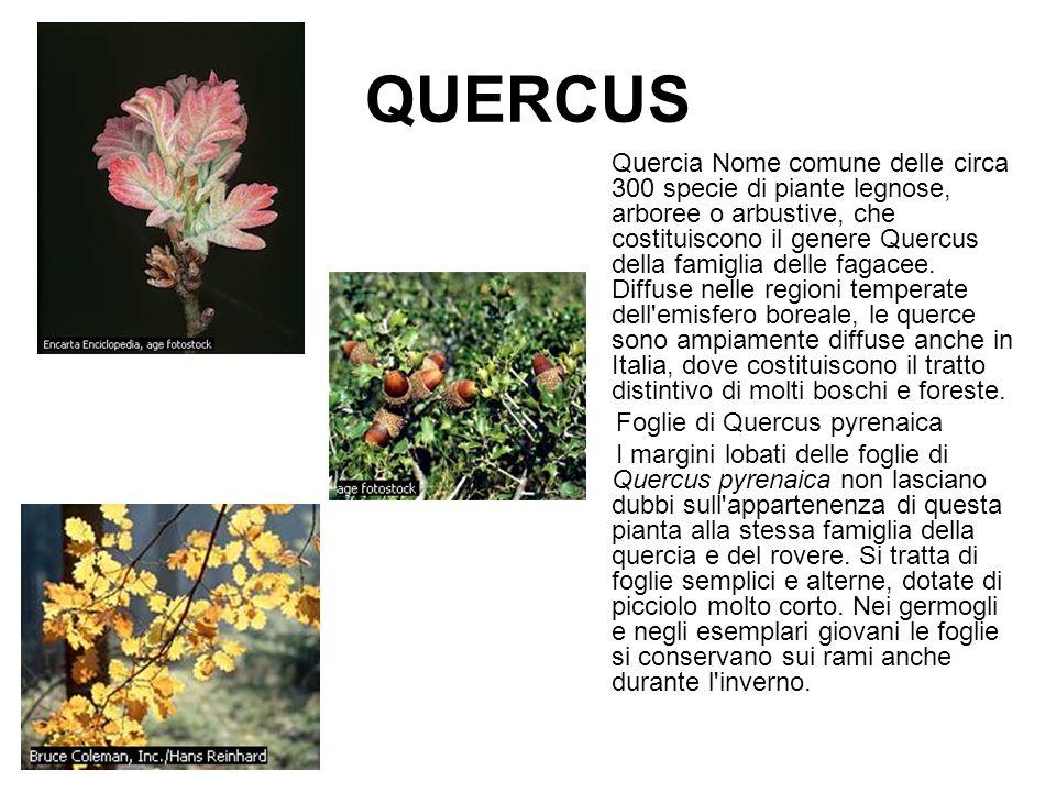 QUERCUS Foglie di Quercus pyrenaica