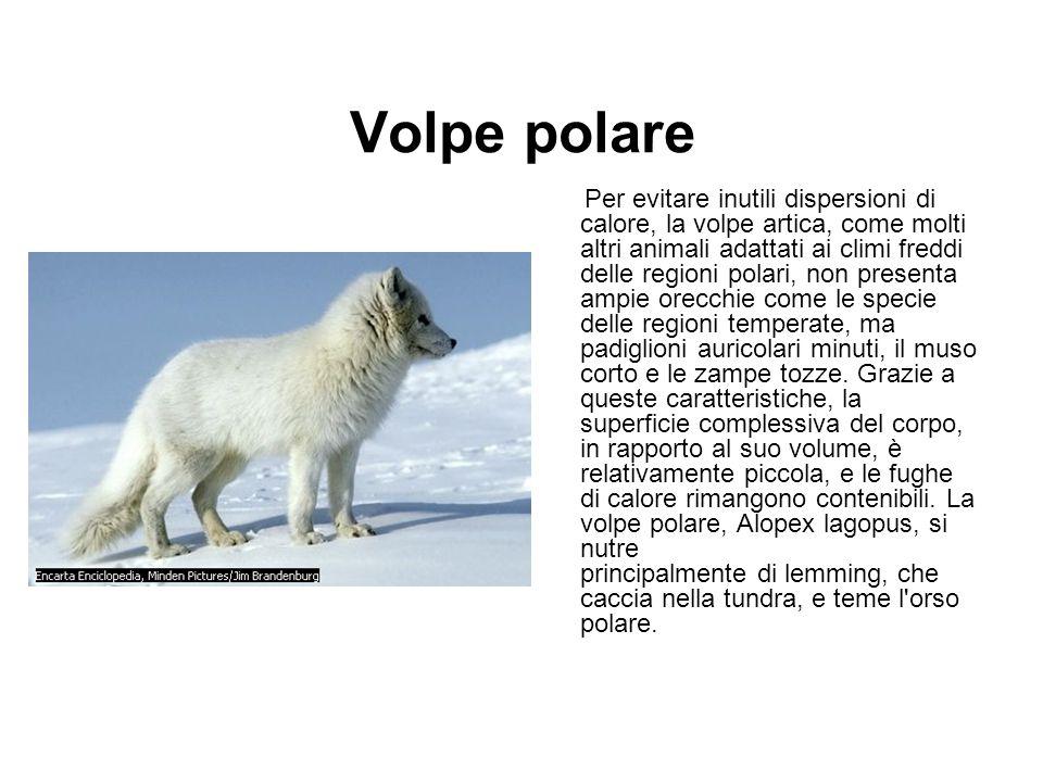 Volpe polare