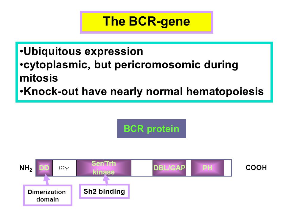 The BCR-gene Ubiquitous expression