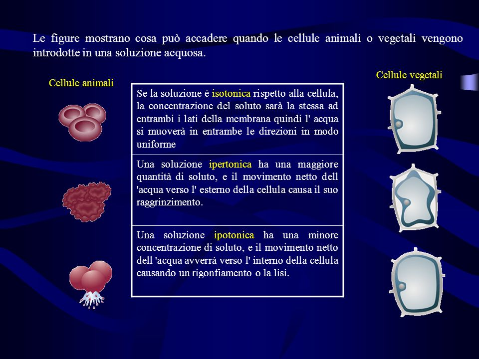 Le figure mostrano cosa può accadere quando le cellule animali o vegetali vengono introdotte in una soluzione acquosa.