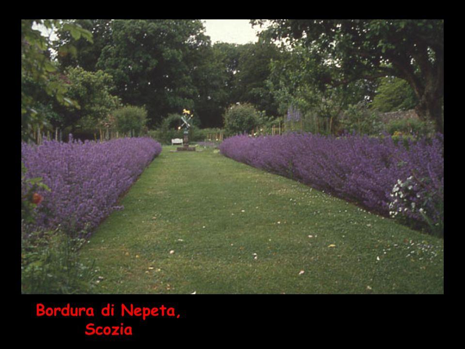 Bordura di Nepeta, Scozia