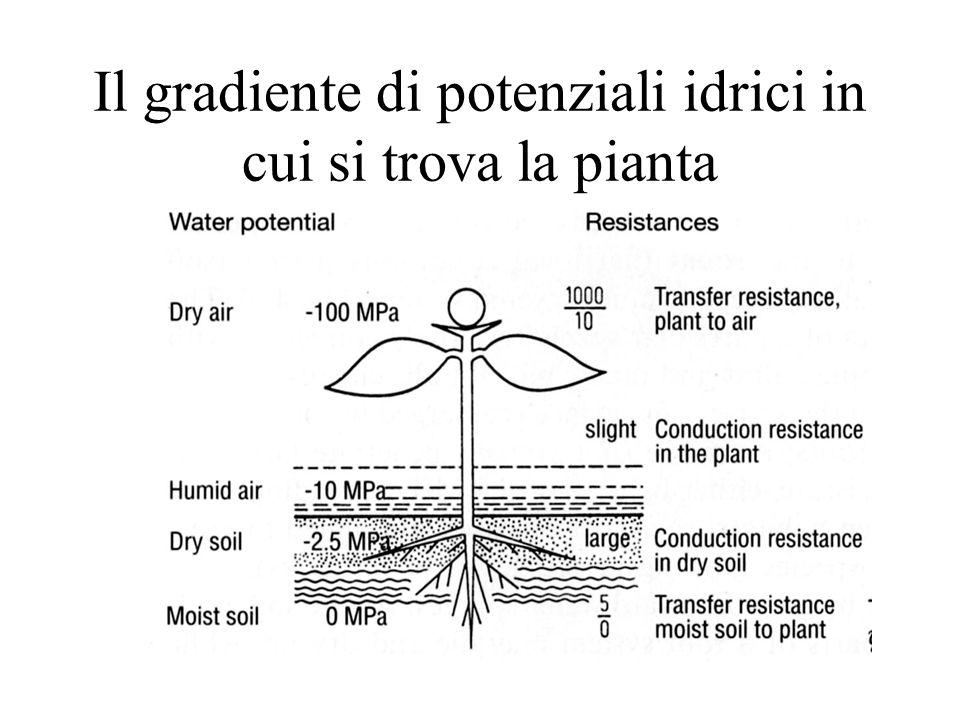 Il gradiente di potenziali idrici in cui si trova la pianta