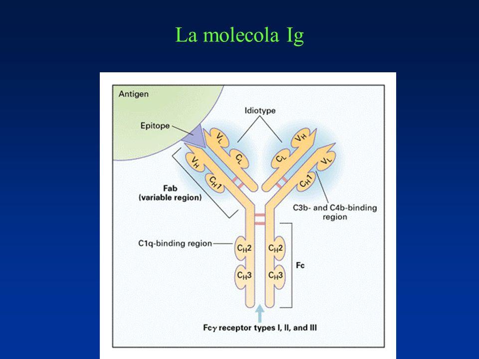La molecola Ig