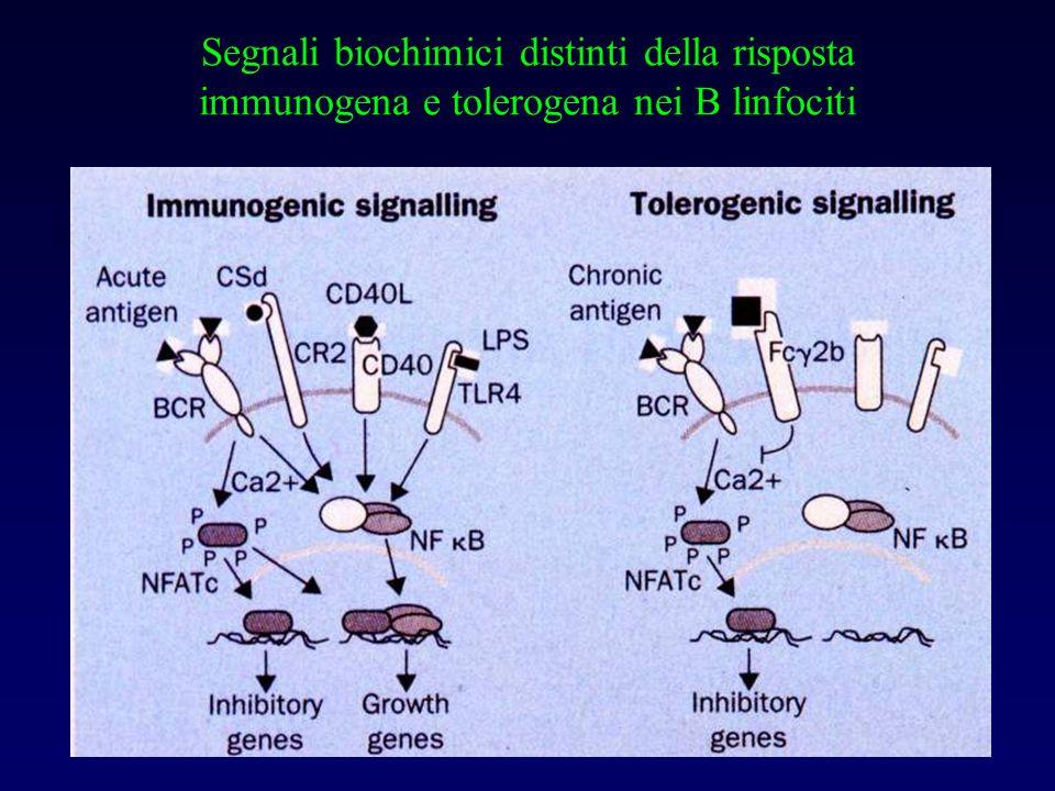 Segnali biochimici distinti della risposta immunogena e tolerogena nei B linfociti
