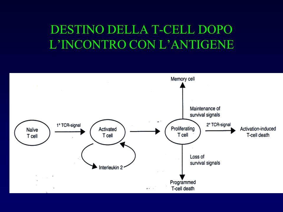 DESTINO DELLA T-CELL DOPO L'INCONTRO CON L'ANTIGENE