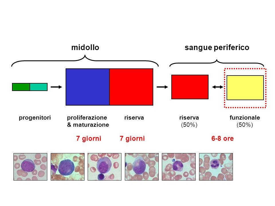 midollo sangue periferico 7 giorni 7 giorni 6-8 ore proliferazione
