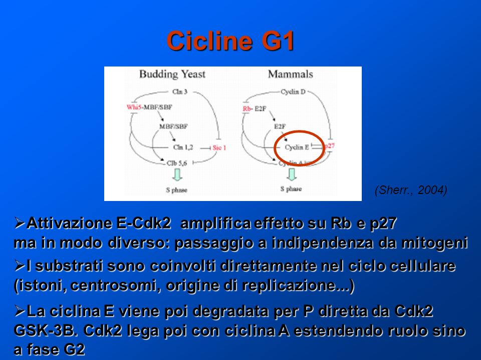Cicline G1 Attivazione E-Cdk2 amplifica effetto su Rb e p27