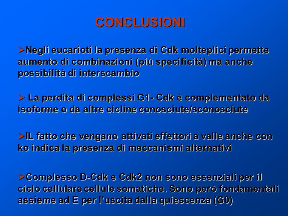 CONCLUSIONI Negli eucarioti la presenza di Cdk molteplici permette