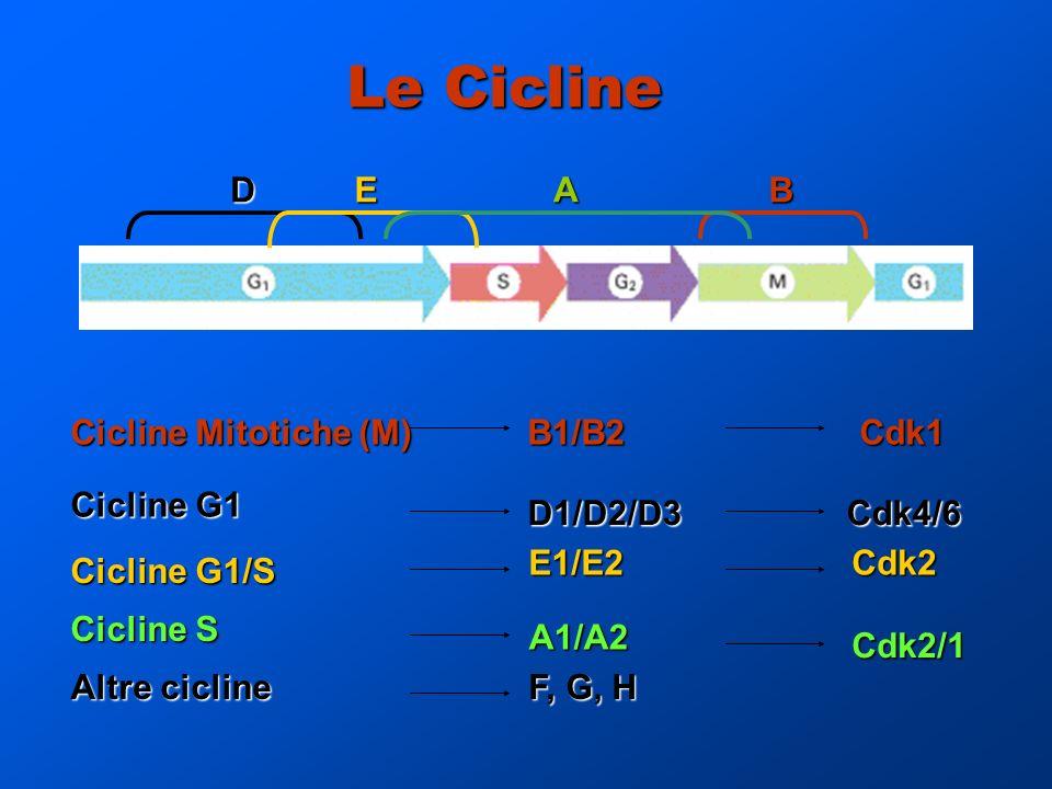 Le Cicline D E A B Cicline Mitotiche (M) B1/B2 Cdk1 Cicline G1