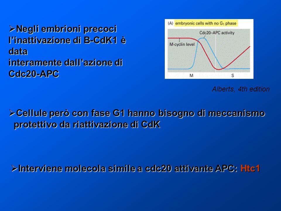 Negli embrioni precoci l'inattivazione di B-CdK1 è data