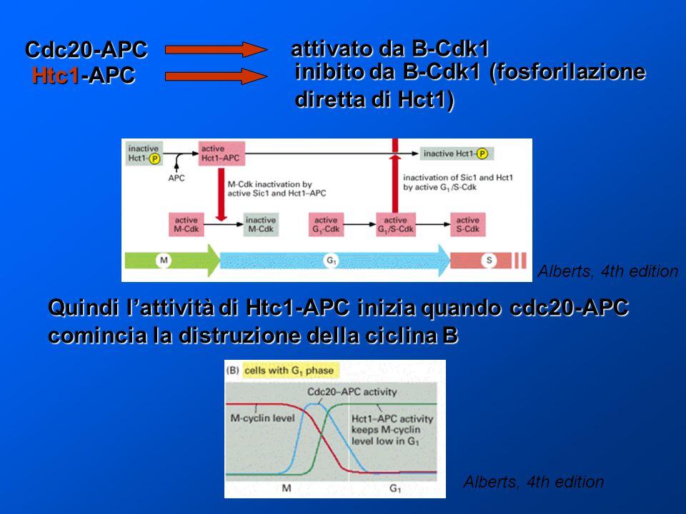 inibito da B-Cdk1 (fosforilazione diretta di Hct1)