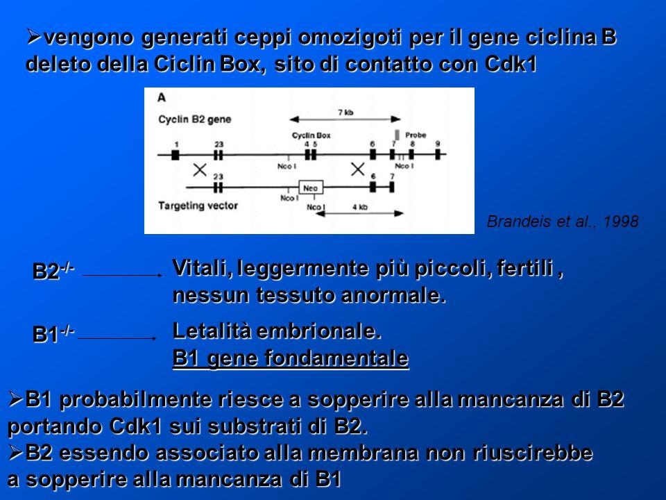 vengono generati ceppi omozigoti per il gene ciclina B