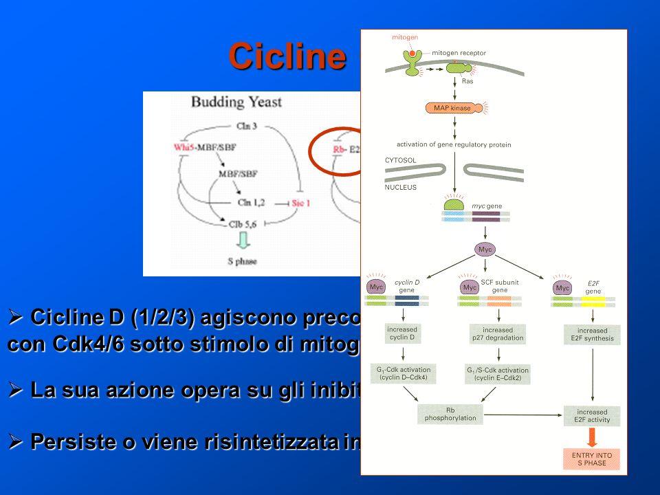 Cicline G1  Cicline D (1/2/3) agiscono precocemente complessando