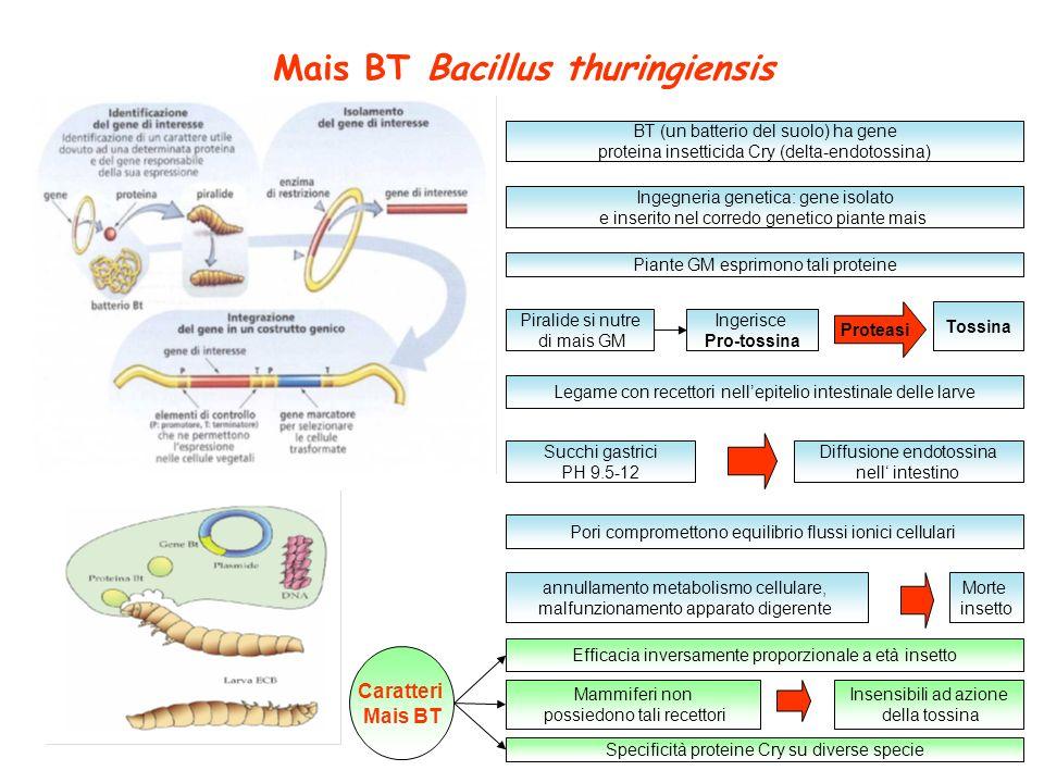 Mais BT Bacillus thuringiensis