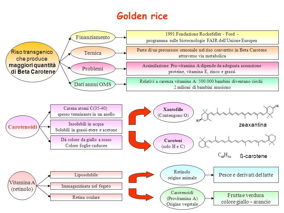 Golden rice Finanziamento Riso transgenico che produce Tecnica
