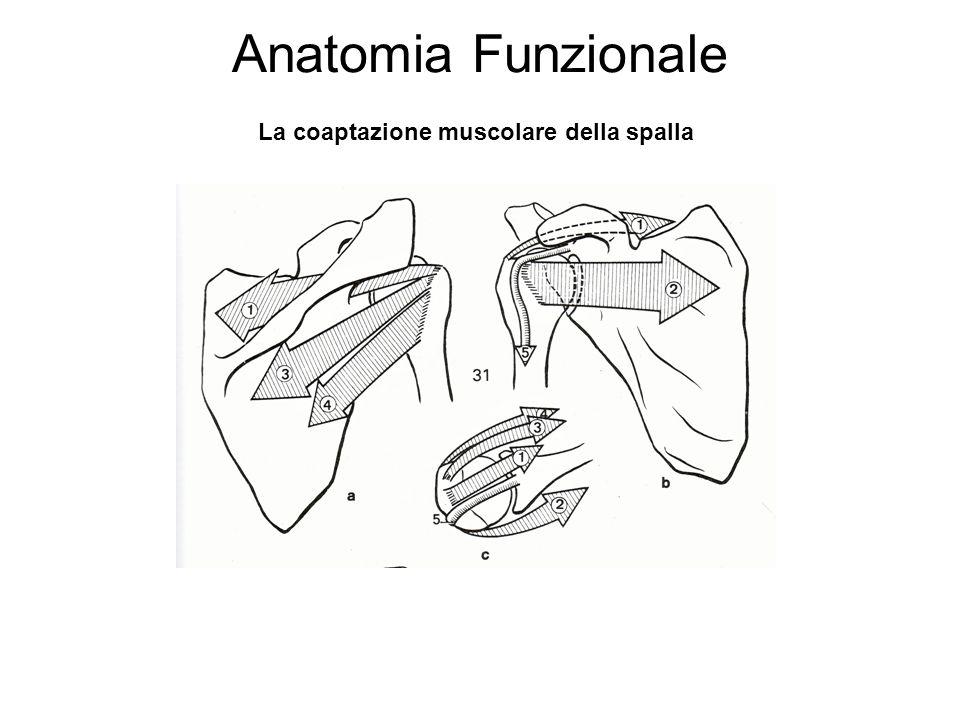 Anatomia Funzionale La coaptazione muscolare della spalla