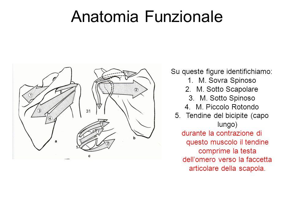 Anatomia Funzionale Su queste figure identifichiamo: M. Sovra Spinoso