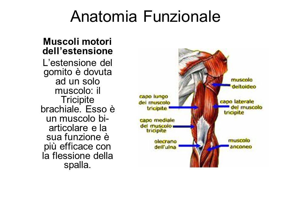 Muscoli motori dell'estensione