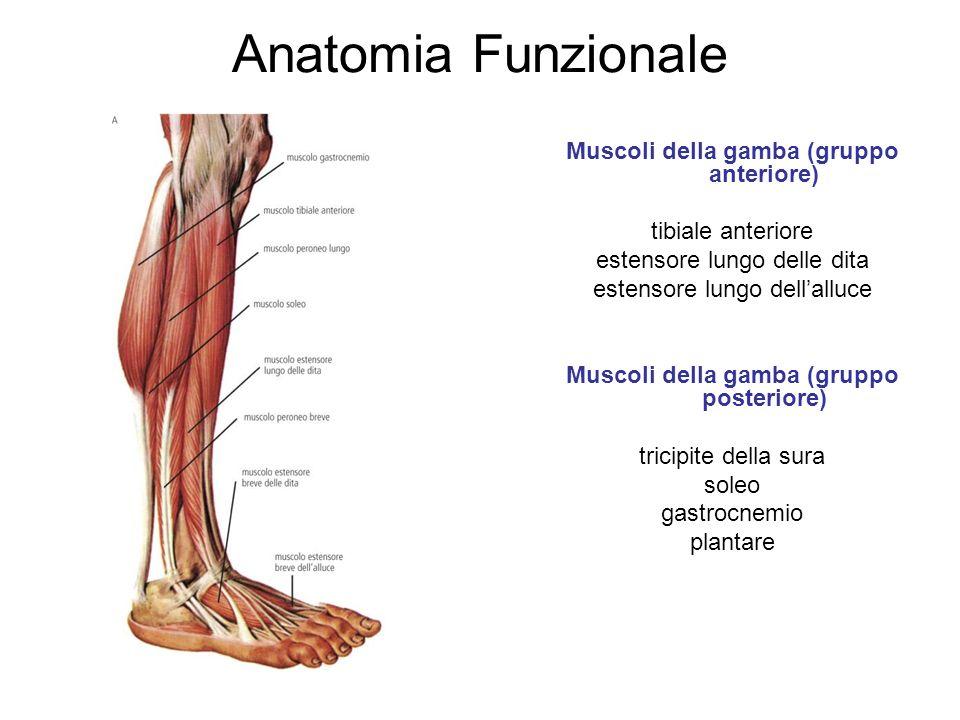 Anatomia Funzionale Muscoli della gamba (gruppo anteriore)