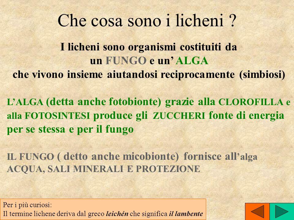 I licheni sono organismi costituiti da
