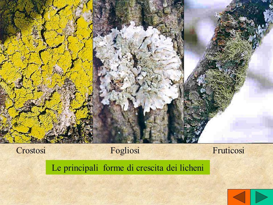 Le principali forme di crescita dei licheni