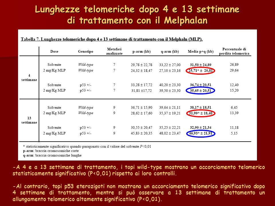 Lunghezze telomeriche dopo 4 e 13 settimane di trattamento con il Melphalan