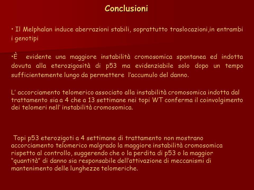 Conclusioni Il Melphalan induce aberrazioni stabili, soprattutto traslocazioni,in entrambi i genotipi.