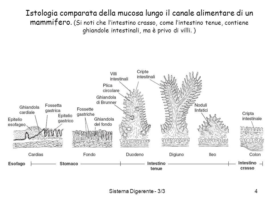 Istologia comparata della mucosa lungo il canale alimentare di un mammifero. (Si noti che l'intestino crasso, come l'intestino tenue, contiene ghiandole intestinali, ma è privo di villi. )