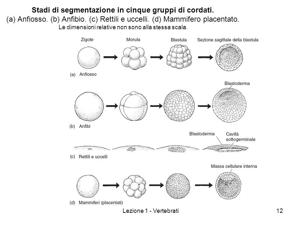 Stadi di segmentazione in cinque gruppi di cordati. (a) Anfiosso