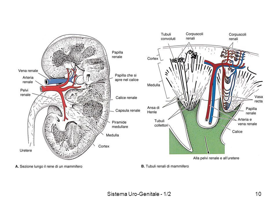 Sistema Uro-Genitale - 1/2