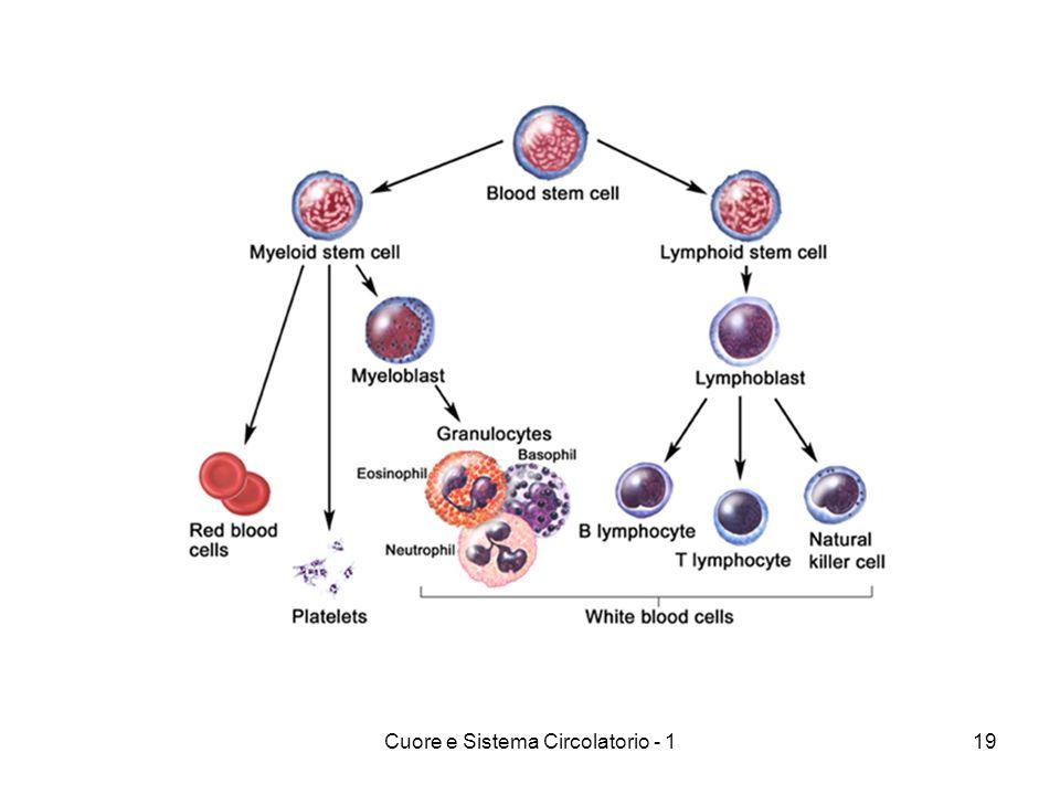 Cuore e Sistema Circolatorio - 1