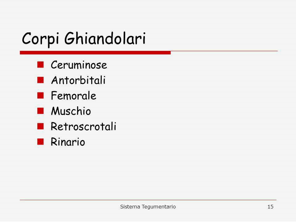 Corpi Ghiandolari Ceruminose Antorbitali Femorale Muschio
