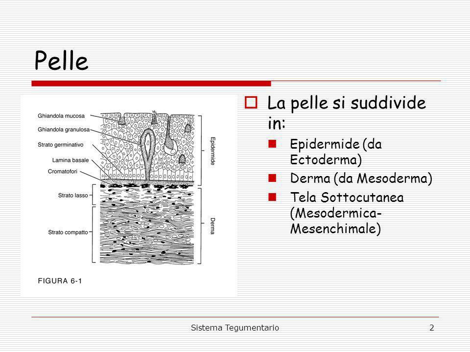 Pelle La pelle si suddivide in: Epidermide (da Ectoderma)