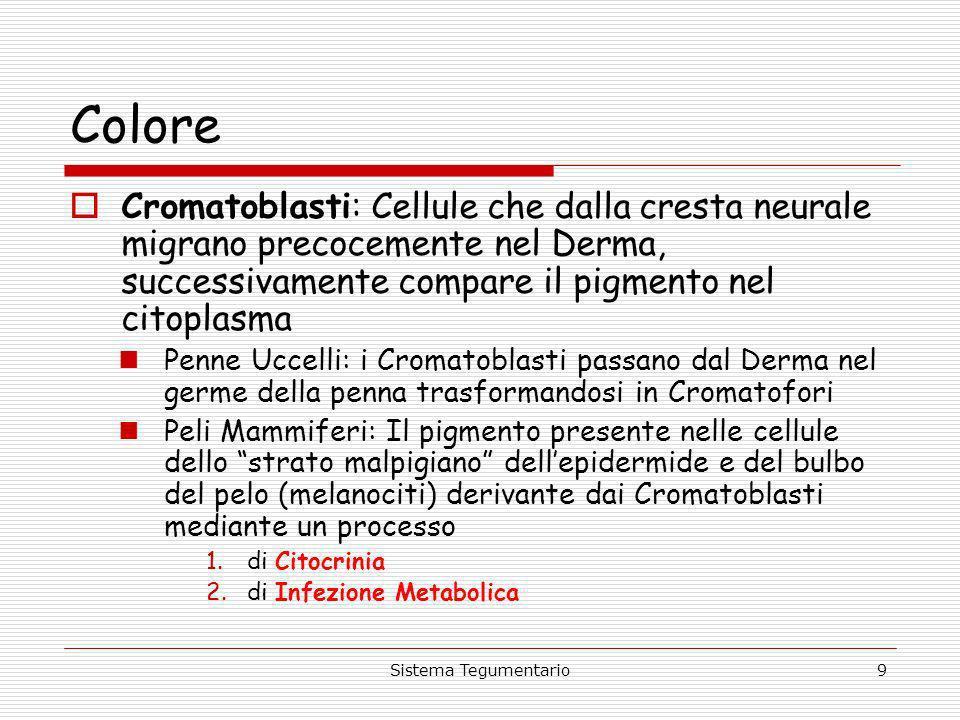 ColoreCromatoblasti: Cellule che dalla cresta neurale migrano precocemente nel Derma, successivamente compare il pigmento nel citoplasma.