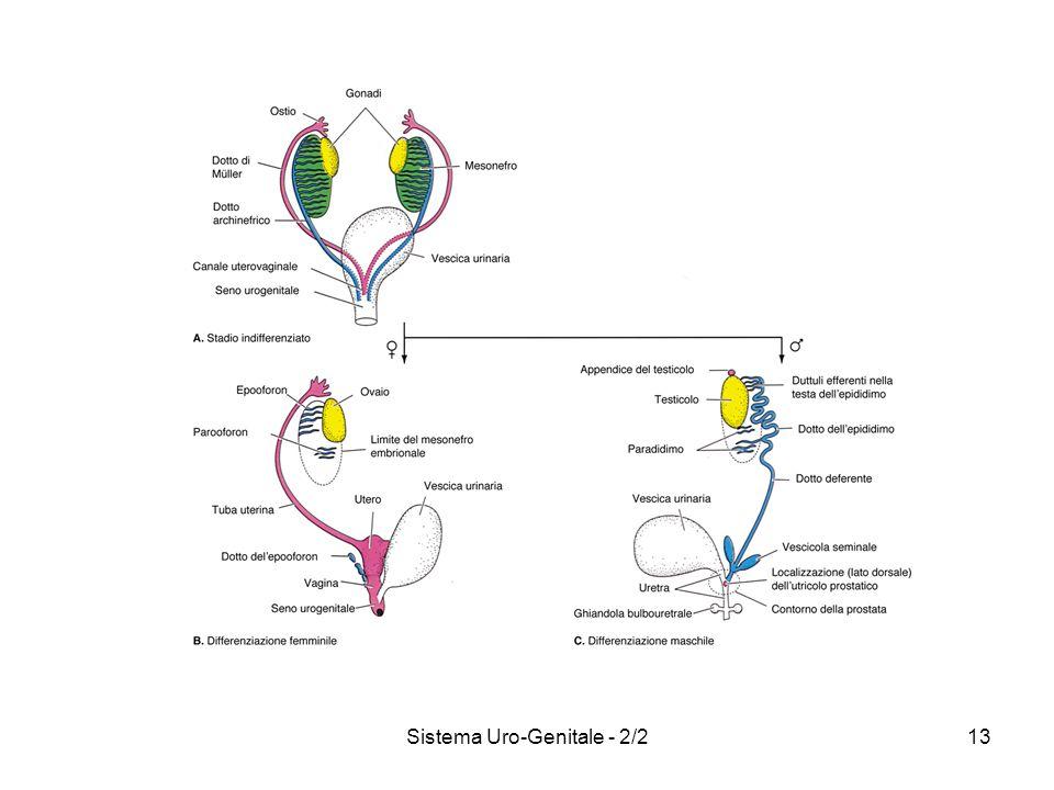 Sistema Uro-Genitale - 2/2