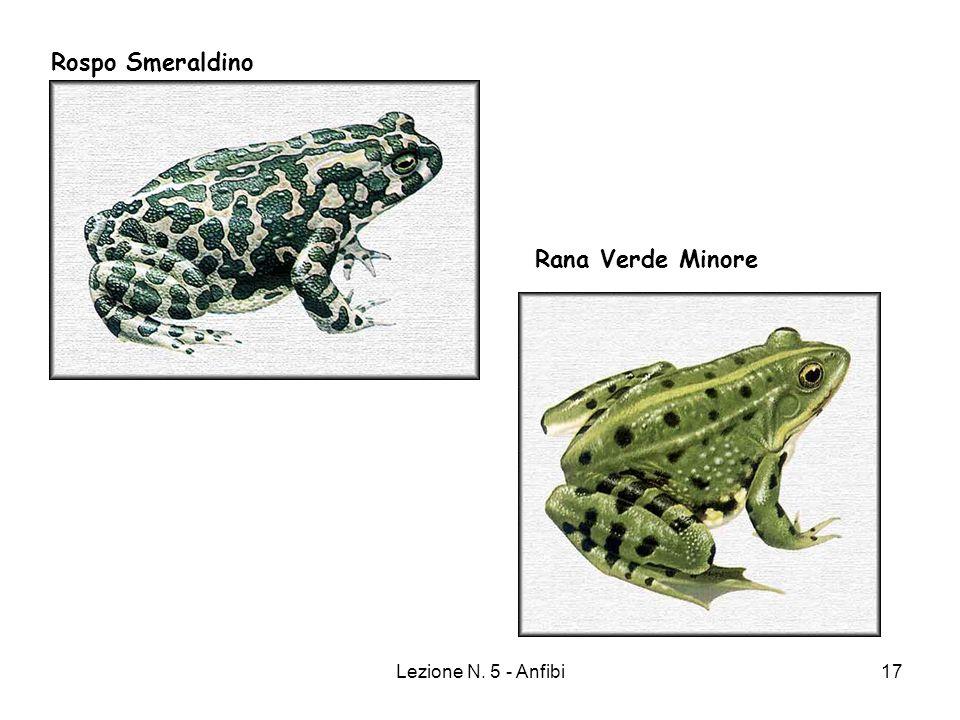 Rospo Smeraldino Rana Verde Minore Lezione N. 5 - Anfibi