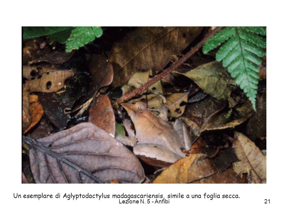 Un esemplare di Aglyptodactylus madagascariensis, simile a una foglia secca.