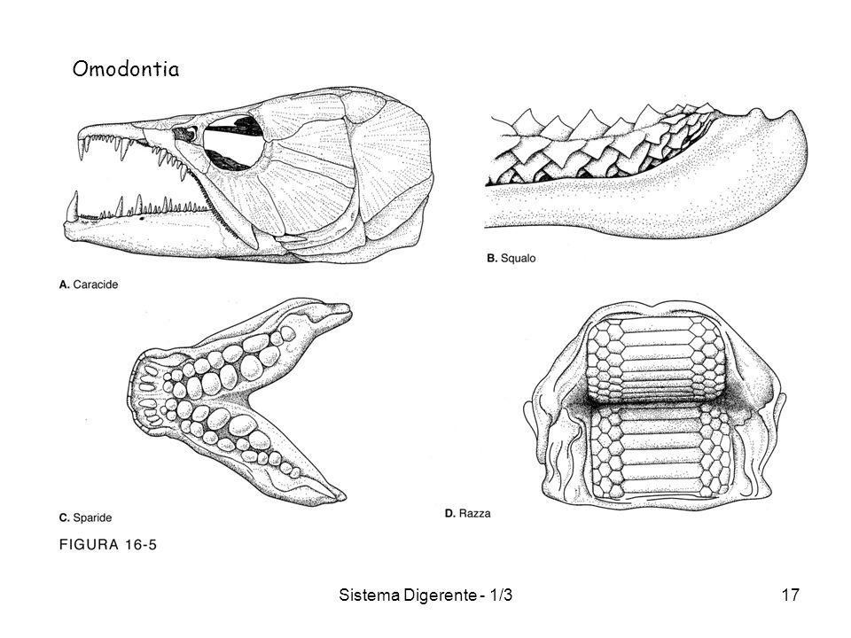 Omodontia Sistema Digerente - 1/3