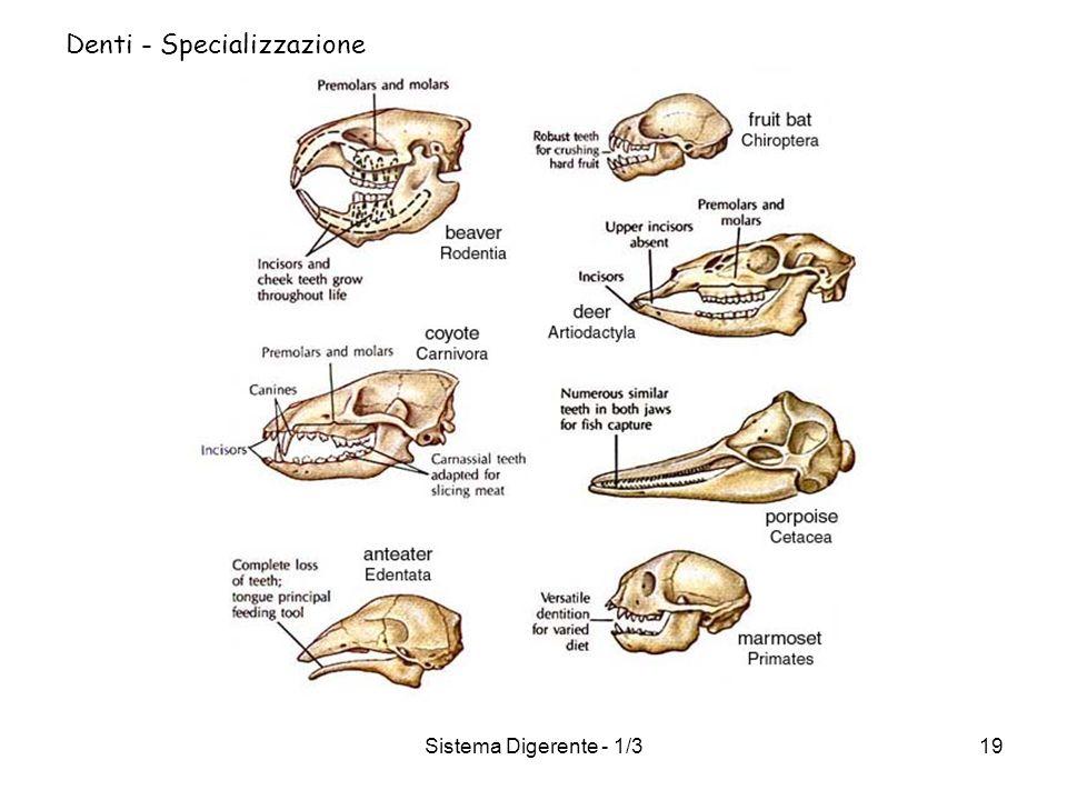 Denti - Specializzazione