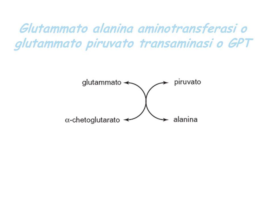 Glutammato alanina aminotransferasi o glutammato piruvato transaminasi o GPT