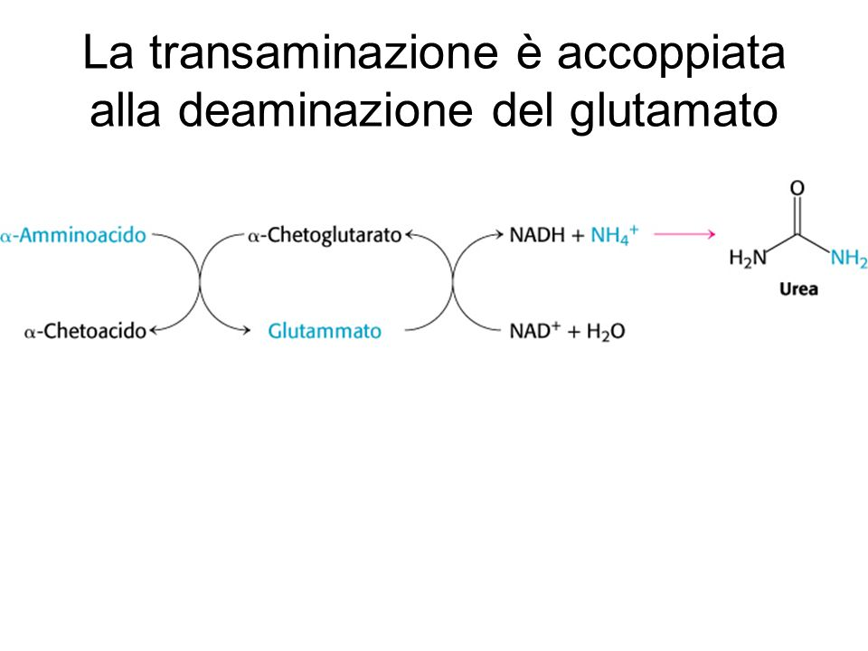 La transaminazione è accoppiata alla deaminazione del glutamato