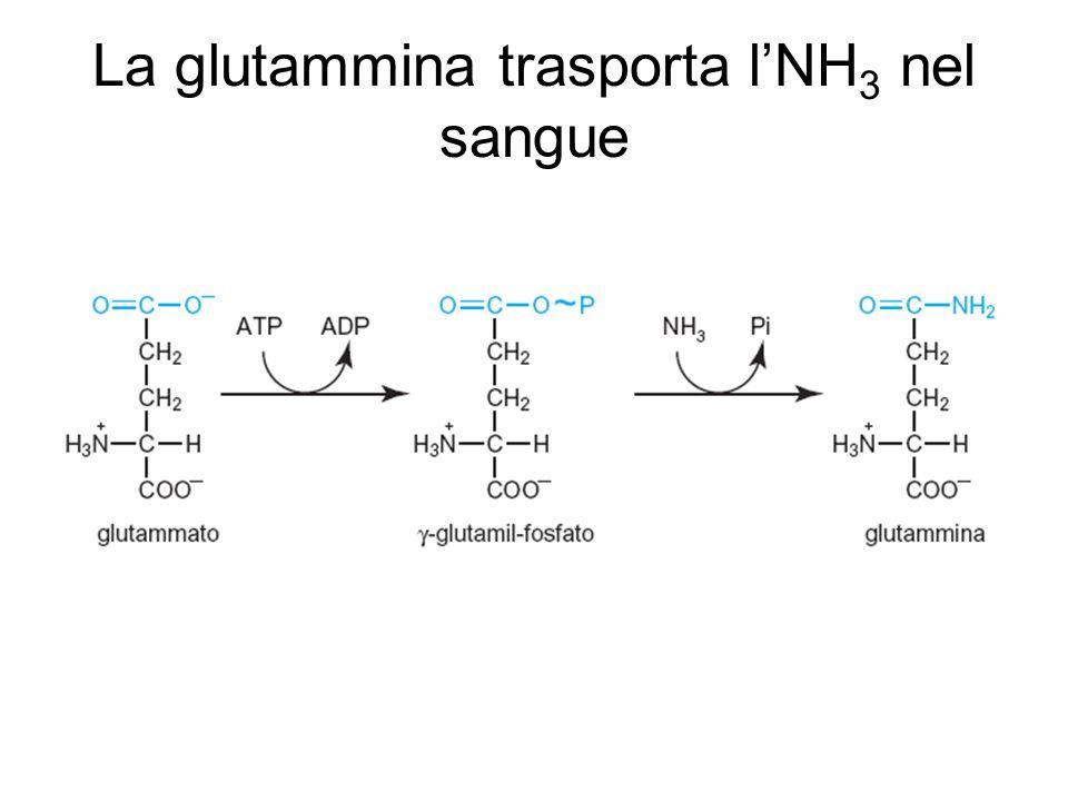 La glutammina trasporta l'NH3 nel sangue